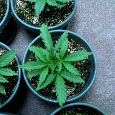 Ten Essential Steps For Growing Cannabis At Home