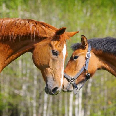 Is CBD Oil For Horses Really A Good Idea?