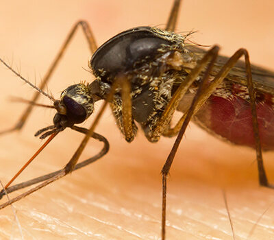 When Winter Comes, Where Do Mosquitoes Go?
