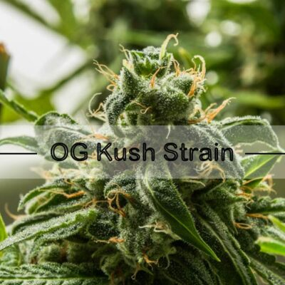 OG Kush Feminized Seeds and What You Need to Know